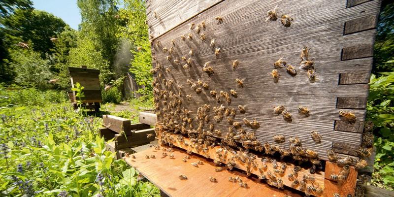El descenso en las poblaciones de abejas ha hecho que científicos y grupos de conservación recurran al establecimiento de criaderos de insectos, granjas de abejas adaptadas para su coexistencia e incluso a la utilización de una abeja polinizadora que puede vivir en cajas y ser trasladada de un lugar a otro.