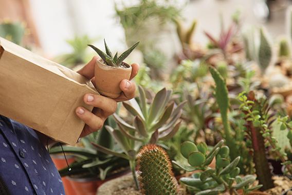 Los cactus y otras plantas desérticas se han vuelto muy populares en los mercaditos. Hay coleccionistas que las llegan a buscar porque les fascina ese hobbie.