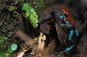 La rana roja es el nombre común para estos individuos de diferente patrón de color cuya especie, Oophaga pumilio, se puede encontrar en Bocas del Toro.