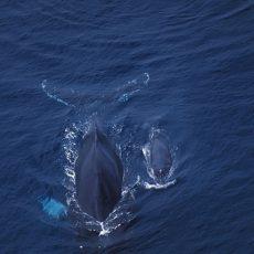 Ballenas nadando